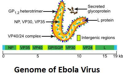 Ebola Virus Genome