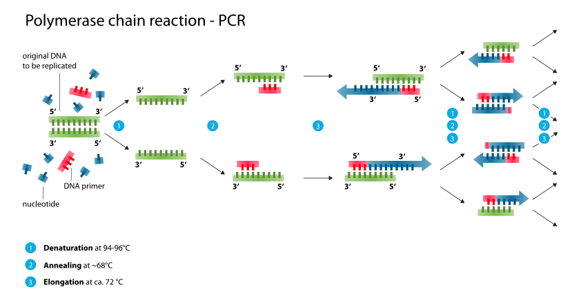 chain reaction pcr principle procedure types applications and : pcr diagram - findchart.co