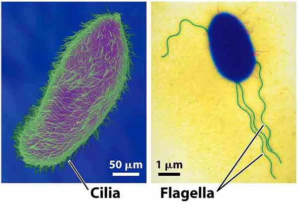 Differences Between Cilia and Flagella