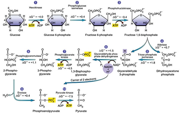 steps explained steps by steps withglycolysis   steps explained steps by steps   diagram