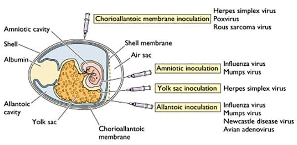 Inoculation into embryonated egg