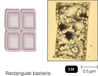Rectangular Bacteria