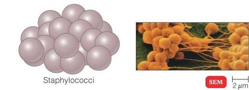 Staphylococci