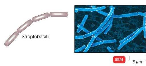 Streptobacilli