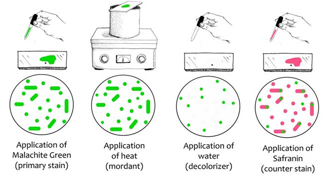 endospore staining principle reagents procedure and result
