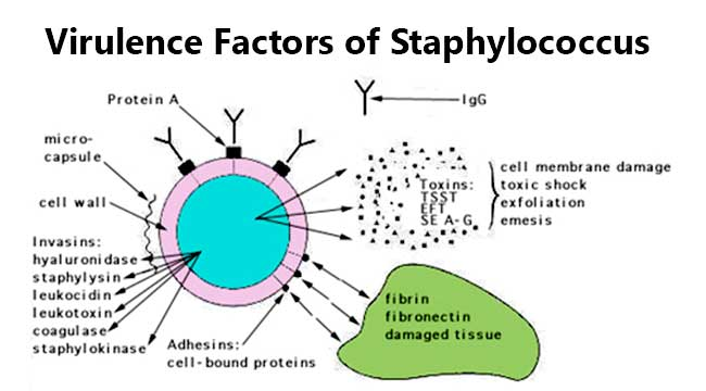 Virulence Factors of Staphylococcus