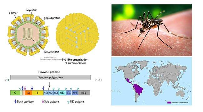 Zika Virus- Structure, Genome, Symptoms, Transmission ...