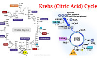 Krebs (Citric Acid) Cycle Steps by Steps Explanation