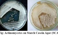 Actinomycetes on Starch Casein Agar (SCA)