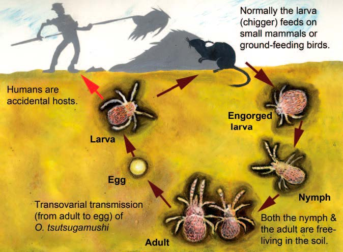 Life cycle of a Leptotrombidium mite