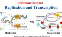 Difference between Replication and Transcription